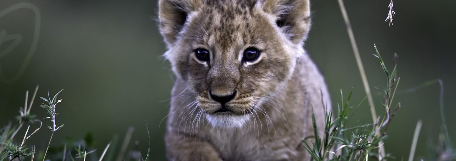 Adorable little lion cub makes an unlikely best pal