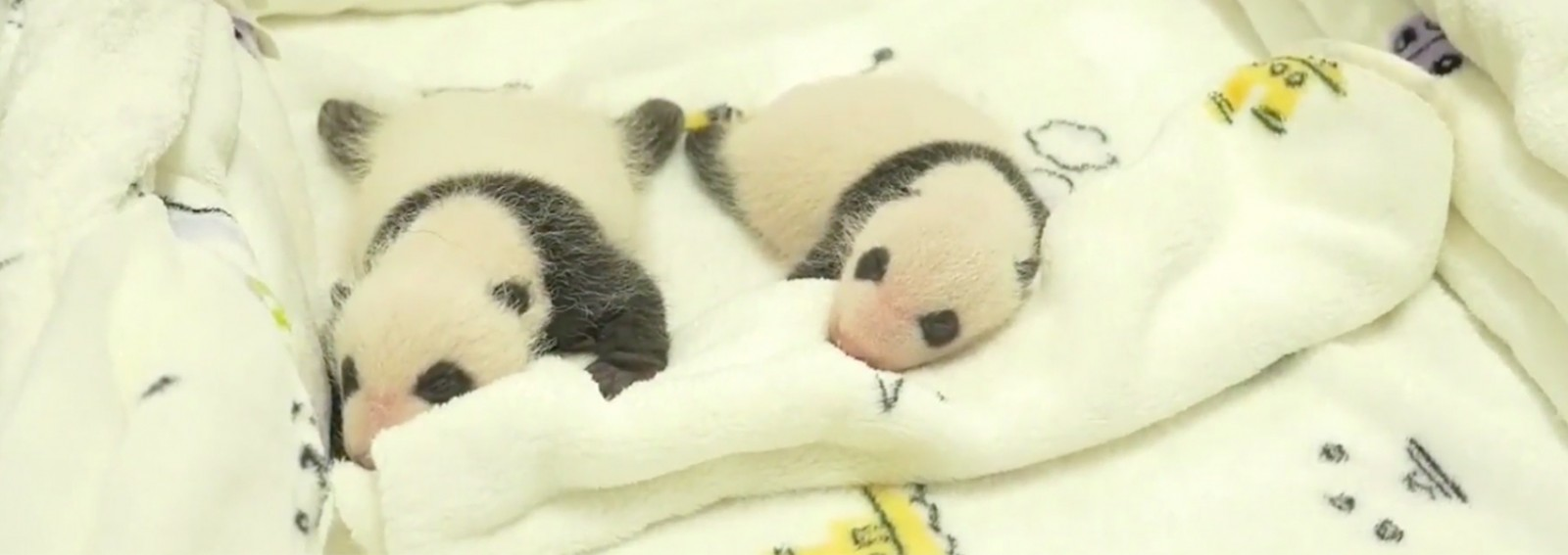 Adorable giant panda twins make their public debut