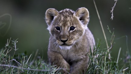 Adorable little lion cub makes an unlikely best pal