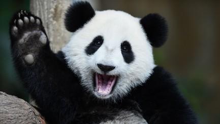 Famous pandas mark major milestones