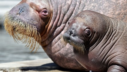 This precious baby walrus will totally brighten your day