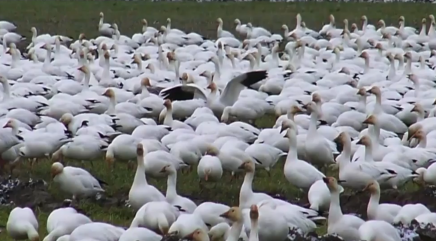 Video shows up to 1 million snow geese