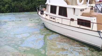 Family steps in to help manatee struggling through algae