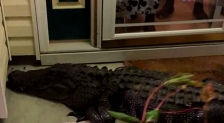 9-foot long alligator bangs on woman's front door looking for love