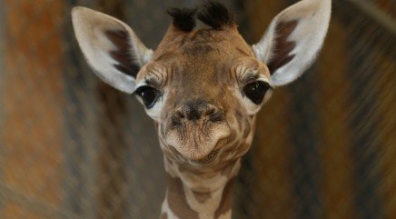 Awkwardly cute baby giraffe makes debut at zoo