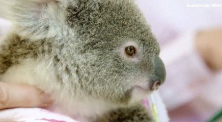 Rescued baby koala finds comfort in new furry 'pal'
