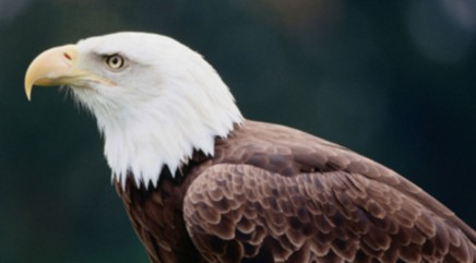 Bald eagle brought back from the brink of death by rescuers