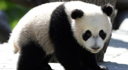 Bao Bao the panda celebrates big birthday