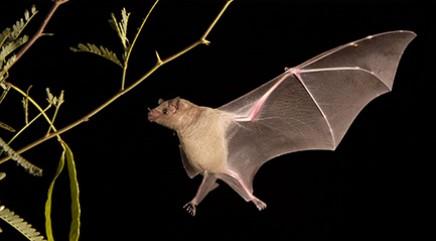 Secrets of bats