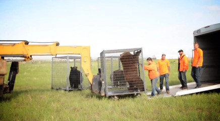 13 bears get their first taste of freedom after being saved from roadside zoos