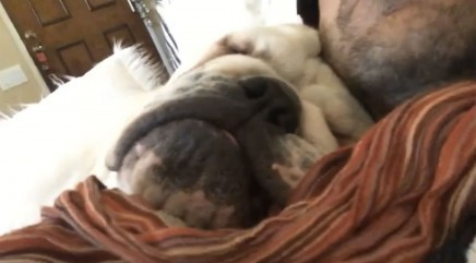 This sleepy bulldog will make you chuckle