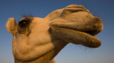 Flip-flop leads to crash involving camel