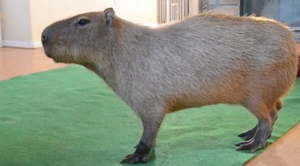 Capybara shares close bond with unlikely best pal