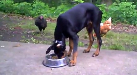 Brave chickens steal big pup's food