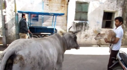 Mother cow refuses to give up on her injured baby