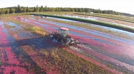 Harvesting a crop of cranberries