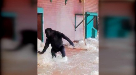 Dancing gorilla does a pirouette just like a ballerina