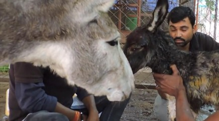 Mother donkey refuses to leave baby's side after brutal attack