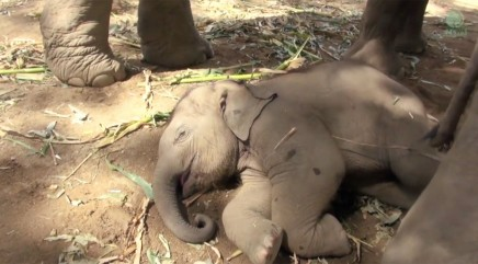 Little baby elephant refuses to wake up no matter what his parents do