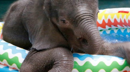 Adorable baby elephant makes a serious splash in tiny pool