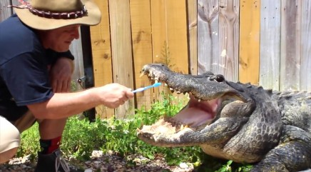 Bold man isn't afraid to brush massive alligator's teeth