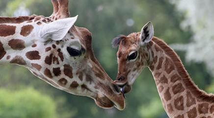 Baby giraffe makes her debut in Houston