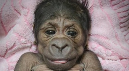 Adorable newborn gorilla you have to see