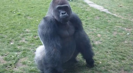 Gorilla terrifies tourists with bold move
