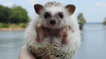 Adorable traveling hedgehog will make you smile