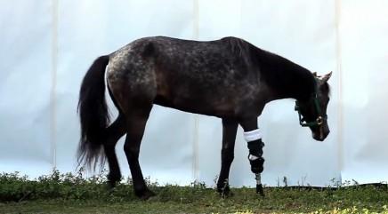 Prosthetics help animals move again