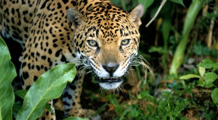 Only known wild jaguar in US caught on video