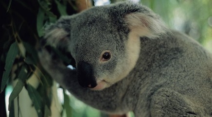 Rescuers perform CPR on injured koala