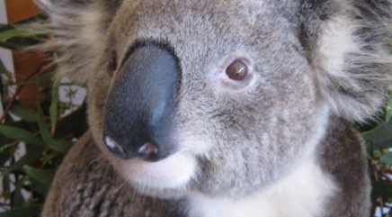 Koala returns to wild after being injured in vicious dog attack
