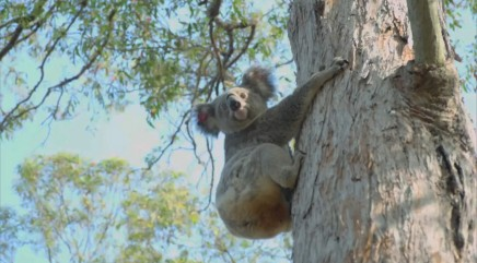 Rare koala injured by car returns to the wild