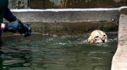 Lions pass cute test while swimming