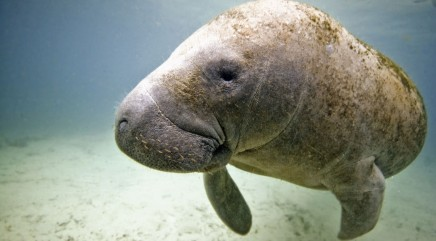 Mama manatee gives birth to extremely rare babies