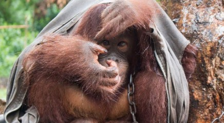 Orangutan chained to tree for years is finally set free