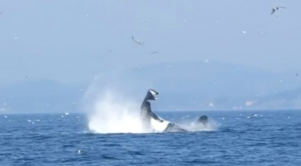 Orca tosses seal in the air while hunting off B.C. coast