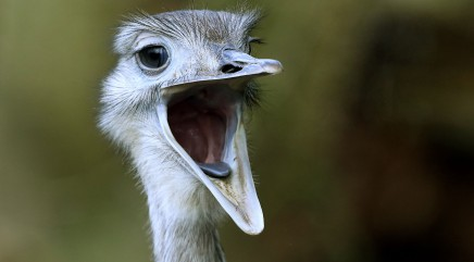 Baby can't stop laughing at hungry ostrich
