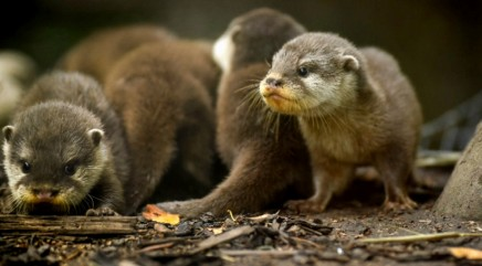 Otter parents give their pups an adorable swimming lesson