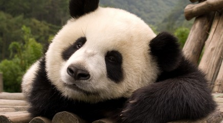 Playful panda wins hearts with goofy pastime