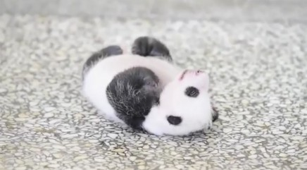 Tiny baby panda trying to turn over takes the internet by storm