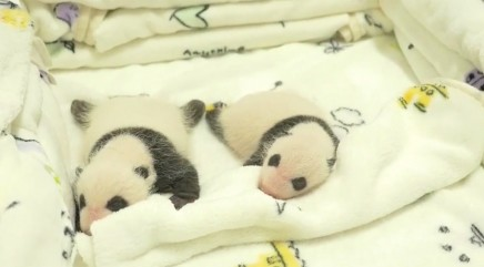 Adorable giant panda twins make their public debut
