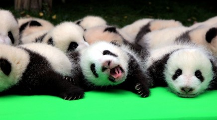 23 fuzzy panda cubs make their public debut