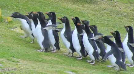 Pack of penguins wards off hungry vultures