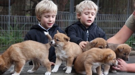 This adorable litter of dingo puppies will melt your heart