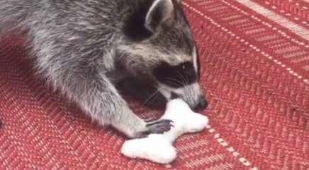 Orphaned baby raccoon finds an unlikely surrogate mom