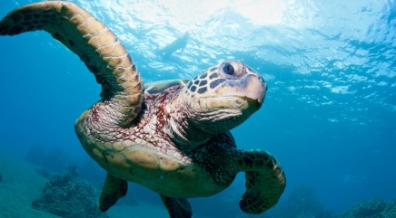 Sea turtle keeps getting caught up in trouble