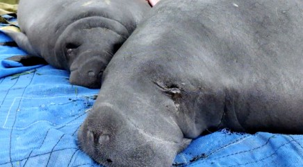 Rescuers step in to return manatees stranded in unlikely place to the wild