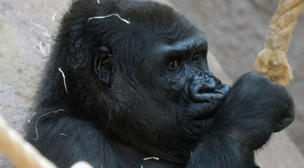 Gorilla stuns zookeepers with unexpected surprise